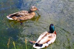 Ducks couple Stock Photos