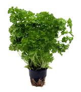 green parsley bunch in pot - stock photo