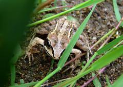 Frog in green grass Stock Photos