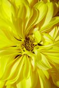 close-up of yellow aster - stock photo