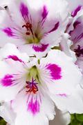 close-up of white and amaryllises - stock photo