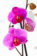 Stock Photo of close-up of bright violet orchids