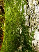 Green moss on birch Stock Photos