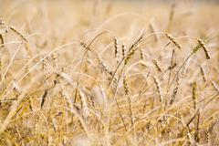 Stock Photo of horizontal image of several ears of wheat
