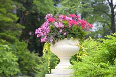trailing ivy geranium flower planter - stock photo