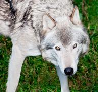 Gray wolf looking at you Stock Photos