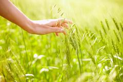 horizontal image of human hand touching green wheat ears on field - stock photo