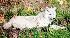 young arctic wolf lying down on a fall day - stock photo