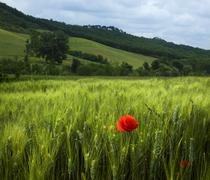 Beautiful green field of rye with red flower Stock Photos