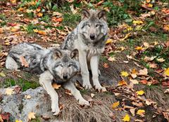 two gray wolves looking at the camera - stock photo