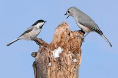 Stock Photo of two birds on a stump