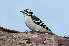 Male downy woodpecker (picoides pubescens) Stock Photos