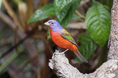 Painted Bunting - stock photo
