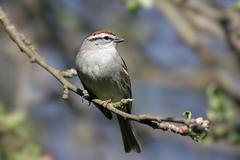 Chipping sparrow (spizella passerina) Stock Photos