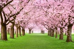 gourgeous cherry trees in full blossom - stock photo