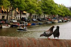pair of pigeons at each other in an old brick bridge on the amsterdam canal b - stock photo