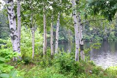 riverview birch - stock photo