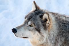 Gray wolf in winter Stock Photos