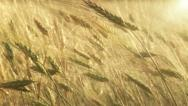 Stock Video Footage of Wheat ears moved by wind