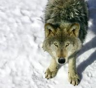 gray wolf looking up at you - stock photo