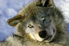 Resting young gray wolf Stock Photos