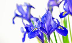 blue iris - stock photo