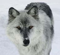 gray wolf - stock photo