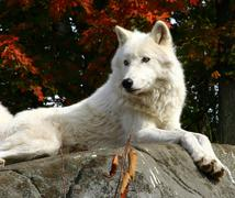 Arctic wolf laying on a rock Stock Photos
