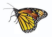 Stock Illustration of Viceroy Butterfly Illustration