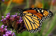 Viceroy Butterfly - stock photo