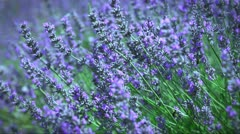 French lavender Stock Footage