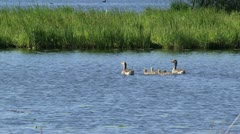 Greylag goose family (anser anser) offspring swim Stock Footage