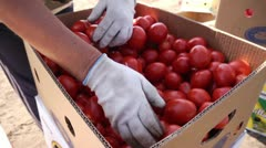 Red ripe tomatoes geathering Stock Footage