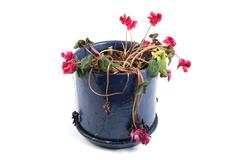 flowerpot of wilted flowers - stock photo