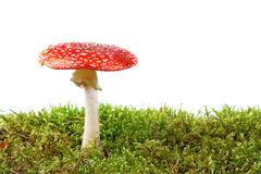 Red amanita in moss isolated on white background Stock Photos