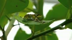 Stunning Citrus Swallowtail butterfly Caterpillar worm feeding Stock Footage
