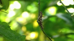 Stunning Citrus Swallowtail butterfly Caterpillar worm moving crawling Stock Footage