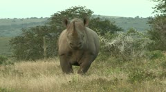 Black rhino walking towards camera Stock Footage