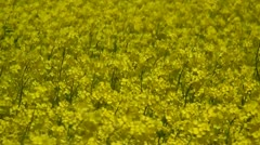 Canola Field - Brassica napus - Northern Germany Stock Footage