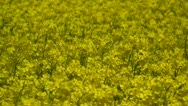 Stock Video Footage of Canola Field - Brassica napus - Northern Germany