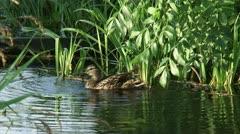 Wild Duck female grooming plumage in pond Stock Footage