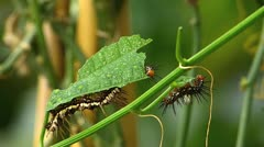 Stunning Julia Heliconian Butterfly caterpillar Dryas julia feeding Stock Footage