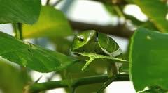 Stunning Time Lapse Citrus Lemon Swallowtail butterfly Caterpillar Stock Footage