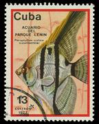 cuba - circa 1977: a stamp printed in cuba shows fish pterophyllum scalare , - stock photo