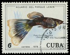cuba-circa 1978: a stamp printed in cuba shows fish poecilia reticulata, circ - stock photo