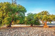 Treees on sea shore after ebb in sunset light Stock Photos