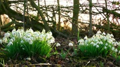 Spring Flowers - Snow Drops Stock Footage