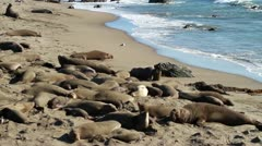 Elephant Seals on beach Stock Footage