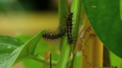 Stunning Julia Heliconian Butterfly caterpillar crawling moving Stock Footage