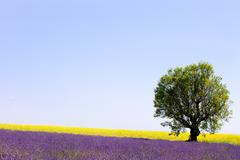 Lavender and yellow flowers blooming field, lonely tree. provence, france Stock Photos